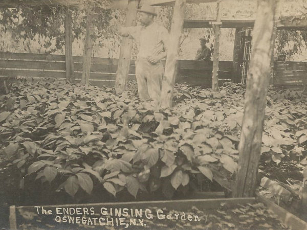 The Enders Ginseng Garden in Oswegatchie