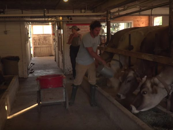 Feeding cows in the Sugar House Creamery barn in Upper Jay