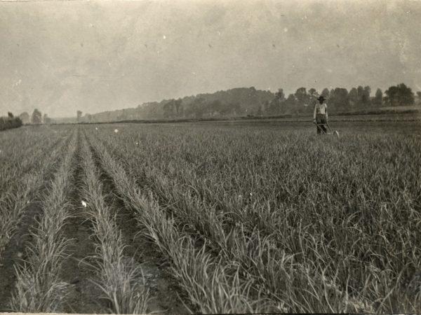 Man weeding onions on vegetable farm in Hermon