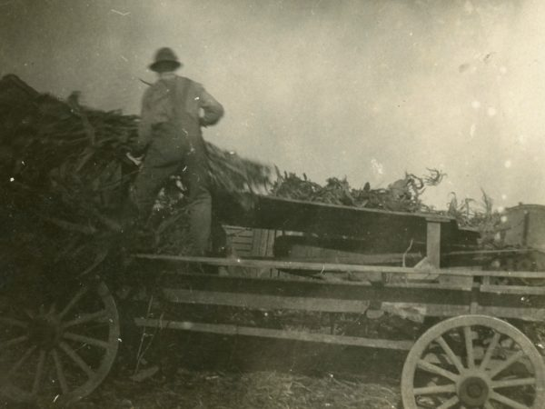 Unloading bundles of corn into cutter in Hermon
