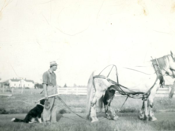 Ed Buchanan with team of Percheron horses in Hammond