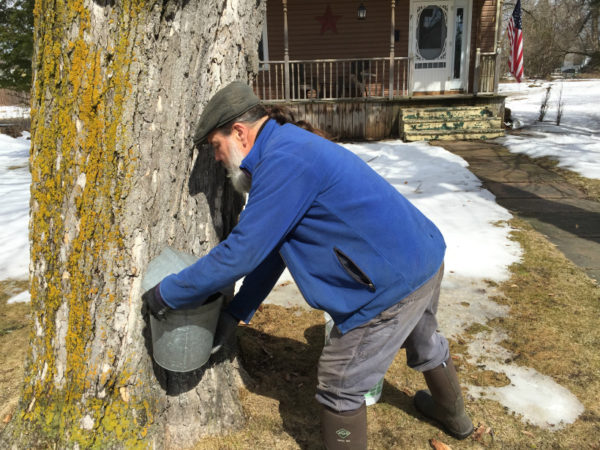 Michael Greer collecting sap in front of a house in downtown Potsdam