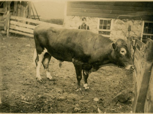 Boy stands behind cow in a paddock