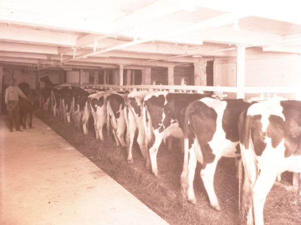 Dairy Cattle in a Clinton County barn