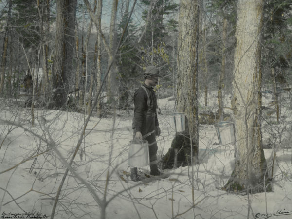 Collecting sap using metal pipes at the Horseshoe Forestry Company
