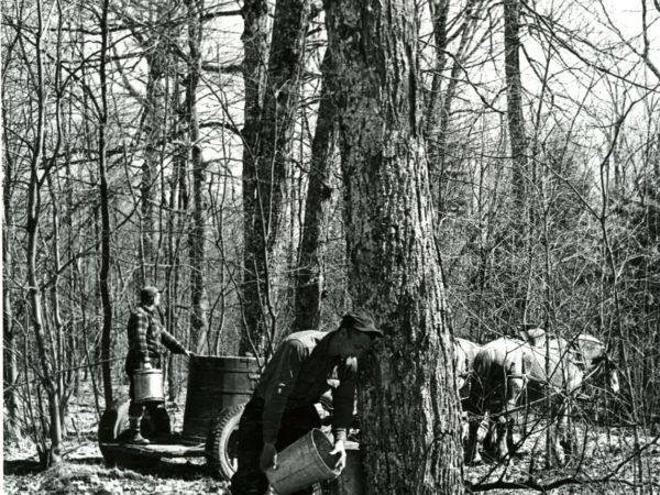 Collecting sap with a horse and wagon near Boonville