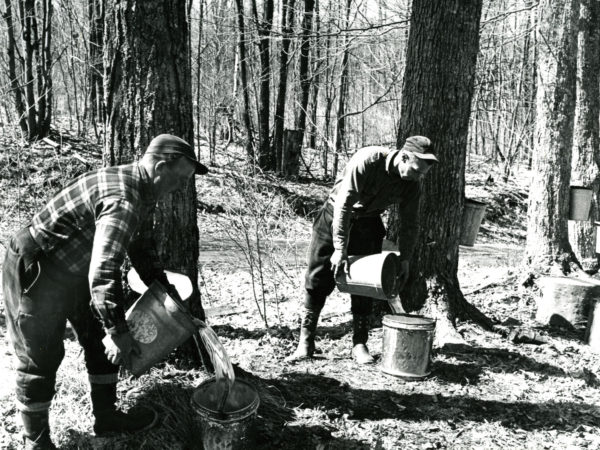 Emptying sap buckets in Boonville