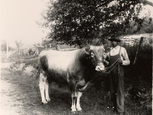 : Man holding a bull on a farm in Keeseville
