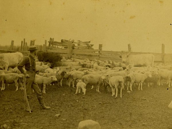 Man in the sheep and cow corral at Beaver Meadow farm in North Creek