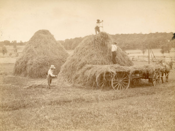 Three men building a stack of oat hay