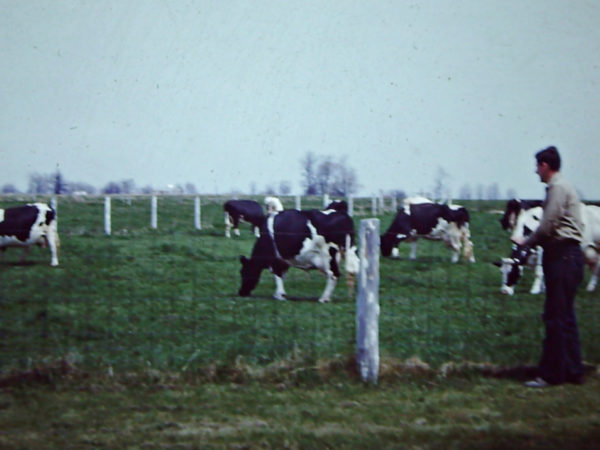 Cows in the pasture of the Thompson farm in Lisbon