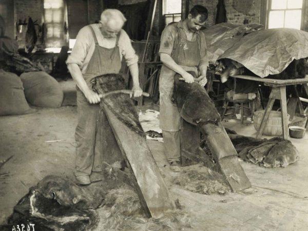 Working beaver hides in Elizabethtown