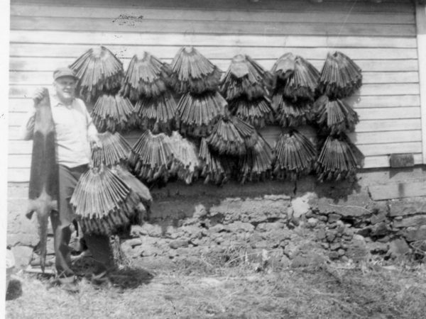 """Preacher-trapper"" Roy Johnson with pelts in Morristown"