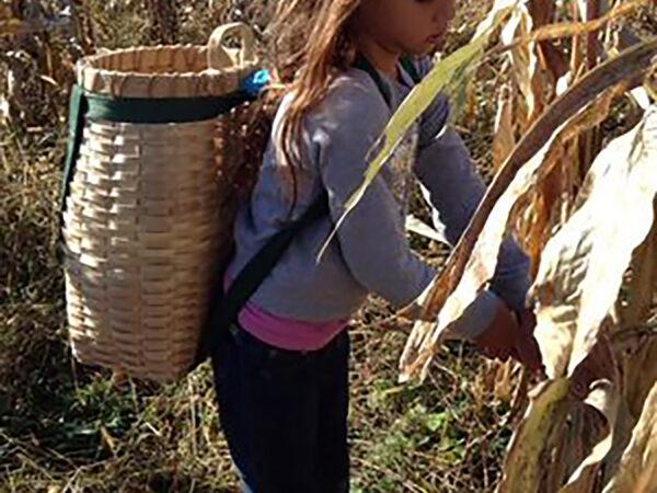 Harvesting corn with pack basket